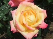 毎日お疲れ-春バラ020