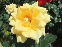 毎日お疲れ-春バラ021