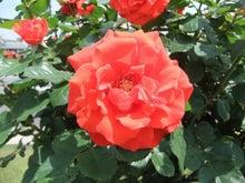 毎日お疲れ-春バラ014