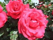 毎日お疲れ-春バラ022
