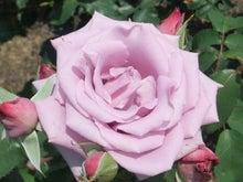 毎日お疲れ-春バラ019