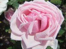 毎日お疲れ-春バラ018