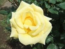 毎日お疲れ-春バラ017
