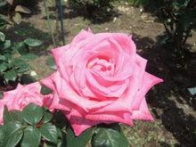 毎日お疲れ-春バラ015