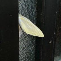 自宅玄関で蝶々が孵り…