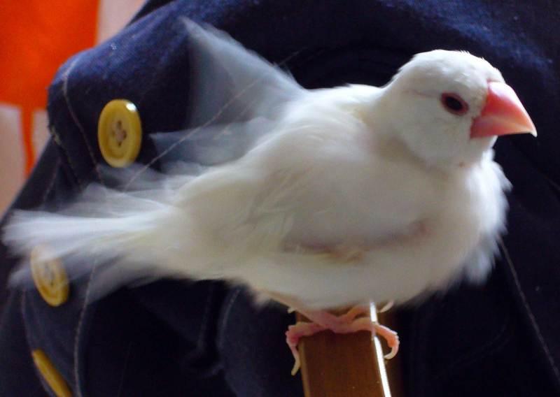 ポコの文鳥日記-P421
