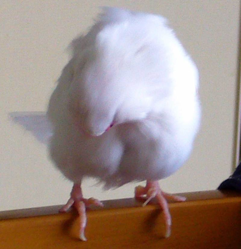 ポコの文鳥日記-P420