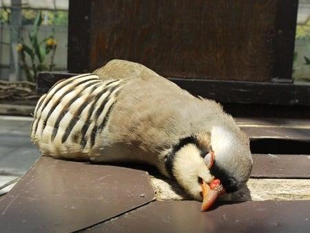 フクロウ,インコ,ペンギンと遊ぶ掛川花鳥園ブログ天使(イワシャコ)の寝顔コメント
