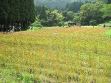 農トレ in 棚田【農業を好きになろう】-麦in棚田(上から)