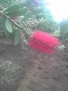 ㈲山下植物園のブログ-キンポウジュ001.JPG
