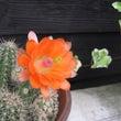 サボテンの花が咲いて…