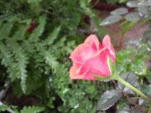 Nao's Garden侃渟-2011061509390000.jpg