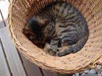 衣裳箱-カゴ猫