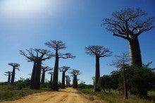 テンチャッチャの途上国生活パート2★マダガスカル-baobab