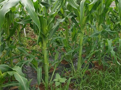 農業のトータルコーディネータ  イノウエ農商事のブログ-06162