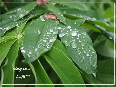 Nagano Life**-水玉