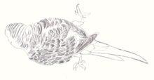 ようこそ!とりみカフェ!!~鳥カフェでの出来事や鳥写真~-大人向け塗り絵ーセキセイインコ