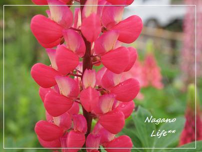 Nagano Life**-ルピナス