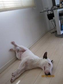 ミニチュアブルテリア天さんの犬的日記-20110629暑い