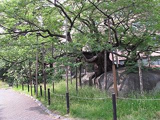 晴れのち曇り時々Ameブロ-石割桜