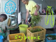 $greenbirdくまもと農園-枝豆5