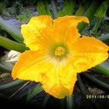 ※ズッキーニのお花