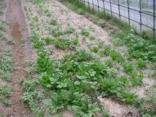 ひよっこ耕作ちゃんの農業-ほうれん草遠