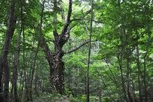 白神山地ツアーで能代山本地区の活性化すっぺ-2011年7月の白神山地・岳岱最新情報5