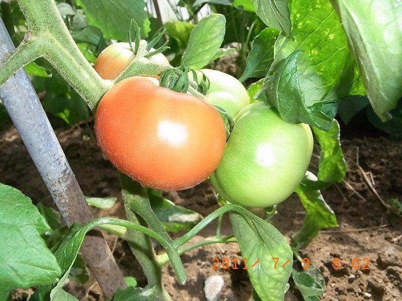 仙台の週末農業-トマト