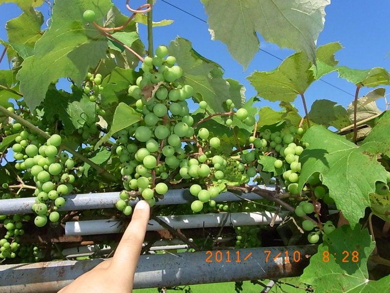 仙台の週末農業-ブドウ