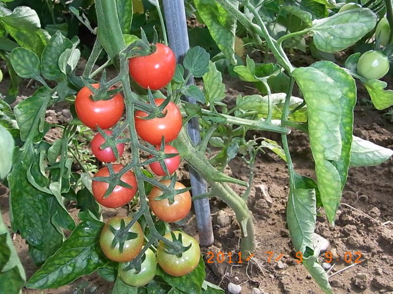 仙台の週末農業-ミニトマト