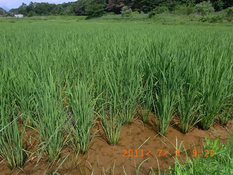 仙台の週末農業-田んぼのイネ