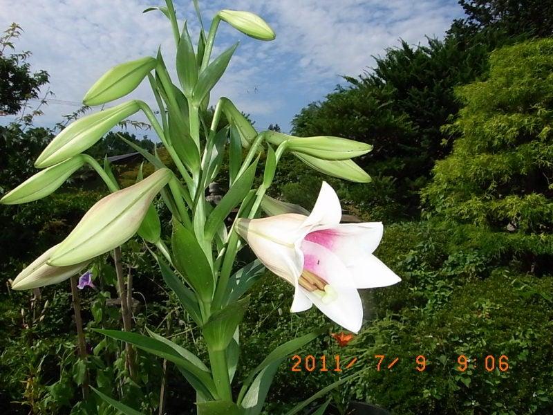 仙台の週末農業-ゆり