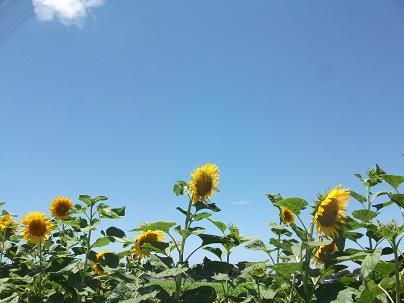 農業のトータルコーディネータ  イノウエ農商事のブログ-07131