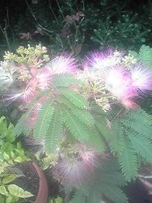 ㈲山下植物園のブログ-ネムの木001.JPG
