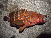 Fishing Report ~茨城の海より  TRY&ERROR blog ver.-キジハタ