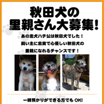秋田犬の里親さん、募…