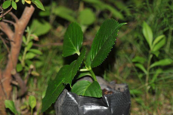 北海道の野生動植物写真-アジサイ