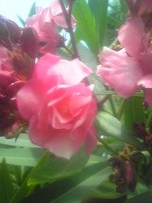 ㈲山下植物園のブログ-キョウチクトウ001.JPG