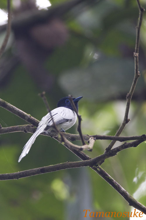 Tamanosuke -Asian_Paradise_Flycatcher_10