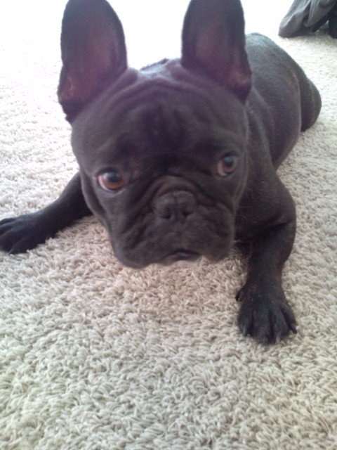 French Bulldog KARIN
