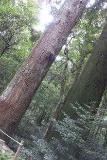 トトロが出てきそうな木だよぉ。