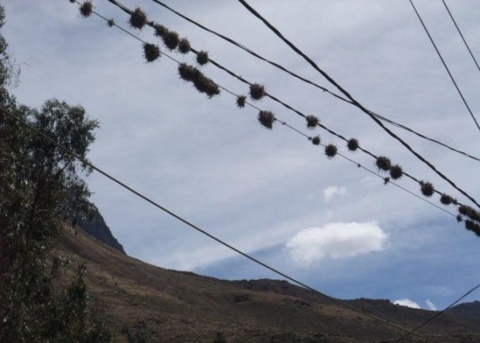 LA BODEGA PERUANA-ティランジア