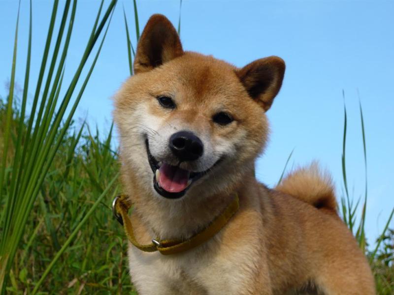 $柴犬 俺!!