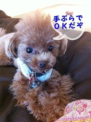 teacupプードルPOOH ちゃんの日記②  prism familia  (pooh 3歳♀800g ・ rhythm 10カ月♂950g)