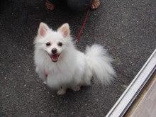 救える小さな命(岡山での犬の里親募集)-918超かわいい小雪ちゃん