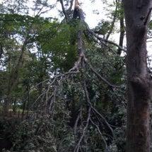玉川上水の樹木がー