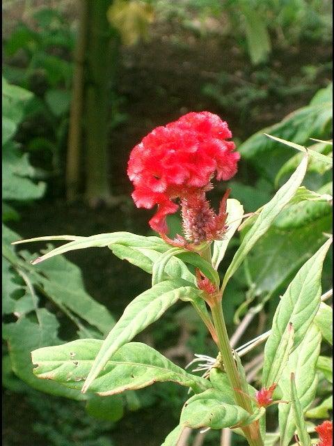 神夢里庭園の花−4
