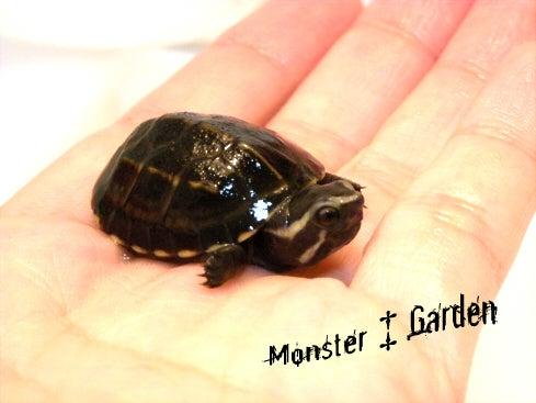 怪物の筐庭-Monster Garden--ミスジドロガメ