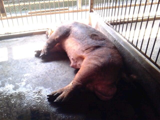 「香り豚」松村牧場へようこそ-SH3F12500001.jpg
